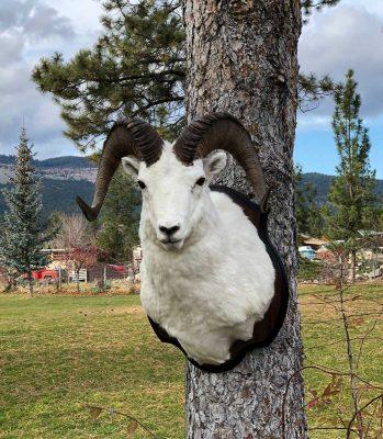 dall-sheep-shoulder-mount-ray-wiens-taxidermy