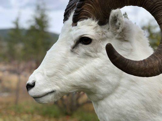 dall-sheep-shoulder-mount-ray-wiens-taxidermy2