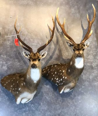 deer-species-head-wall-mounts-ray-wiens-taxidermy