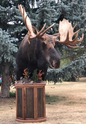 free-standing-moose-head-taxidermy-mount-ray-wiens