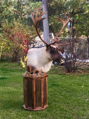 free-standing-caribou-head-taxidermy-mount-ray-wiens