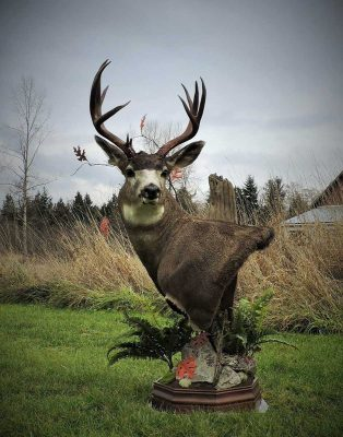 free-standing-mule-deer-head-mount-ray-wiens-taxidermy
