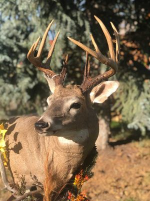 free-standing-whitetail-buck-head-mount-ray-wiens-taxidermy