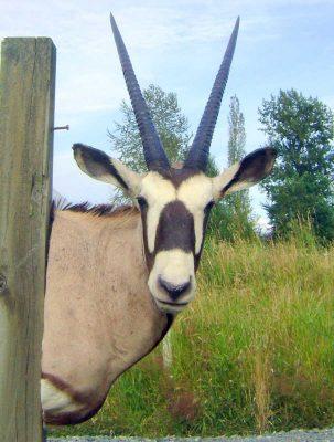 gemsbuck-shoulder-mount-ray-wiens-taxidermy