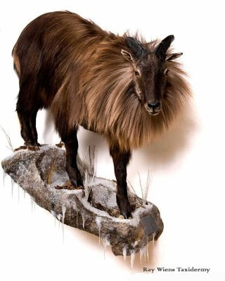 himalayan-tahr-life-size-taxidermy-mount-ray-wiens