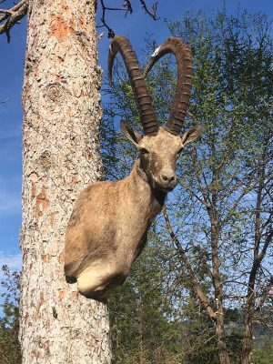 ibex-shoulder-mount-ray-wiens-taxidermy