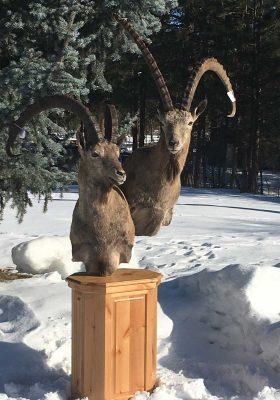 ibex-taxidermy-shoulder-mounts-ray-wiens-taxidermy