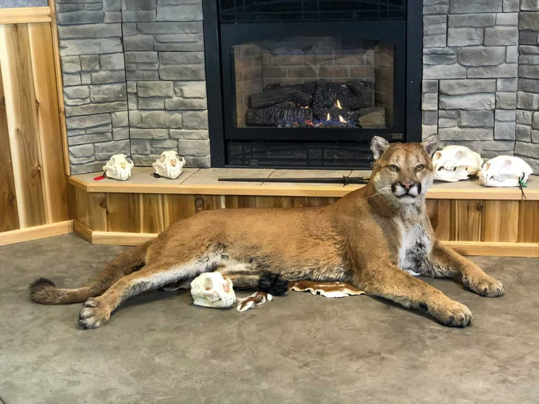 life-size-cougar-taxidermy-mount-laying-down-ray-wiens