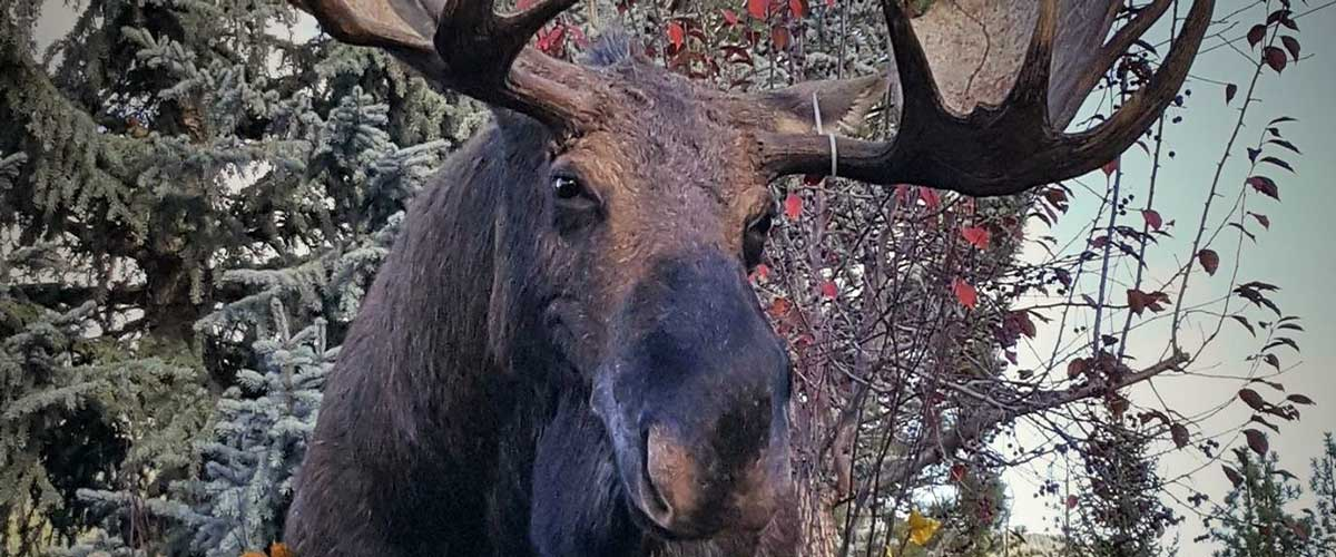 moose-head-taxidermy-mount-ray-wiens-merritt-british-columbia