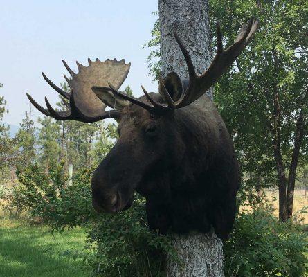moose-taxidermy-mount-ray-wiens-merritt-british-columbia