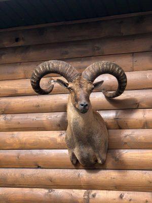 mouflon-sheep-taxidermy-mount-ray-wiens