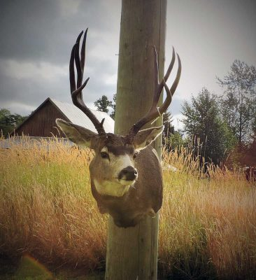 mule-deer-head-mount-ray-wiens-taxidermy-british-columbia