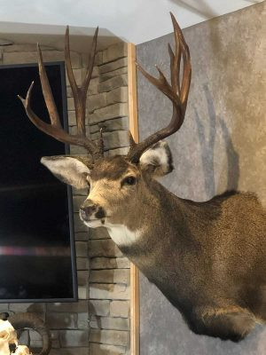 mule-deer-wall-mount-ray-wiens-taxidermy