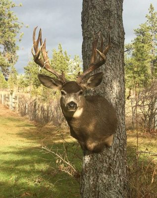 non-typical-mule-deer-head-mount-ray-wiens-taxidermy