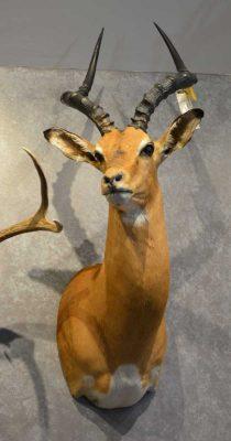 nyala-head-mount-ray-wiens-taxidermy
