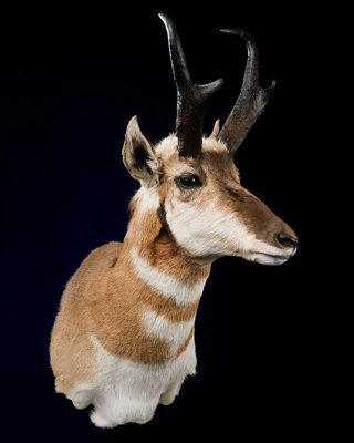 pronghorn-head-wall-mount-ray-wiens-taxidermy