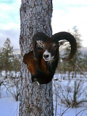 mouflon sheep head mount ray wiens taxidermy british columbia