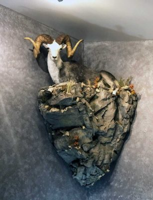 sheep-corner-mount-life-size-taxidermy-ray-wiens