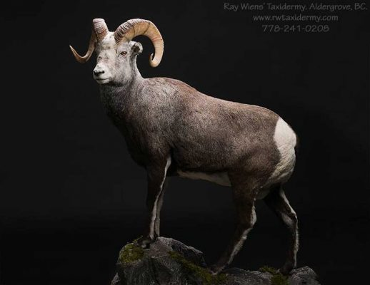 sheep-sp-full-size-mount-ray-wiens-taxidermy