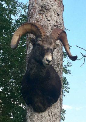 sheep-sp-head-mount-ray-wiens-taxidermy