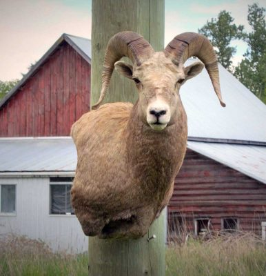 sheep-sp-taxidermy-mount-ray-wiens
