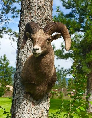 sheep-sp-taxidermy-ray-wiens-british-columbia