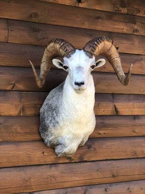 stone-sheep-head-mount-ray-wiens-taxidermy-british-columbia