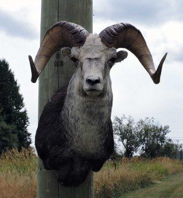 stone-sheep-head-mount-ray-wiens-taxidermy