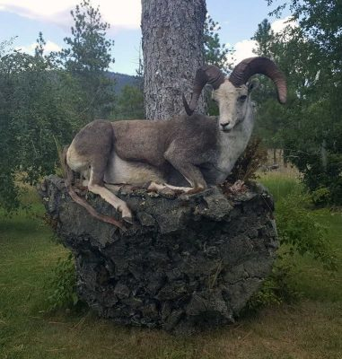 stone-sheep-life-size-mount-ray-wiens-taxidermy
