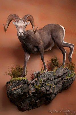 sstone-sheep-species-taxidermy-mount-ray-wiens