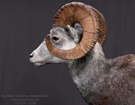stone-sheep-sp-head-mount-ray-wiens-taxidermy