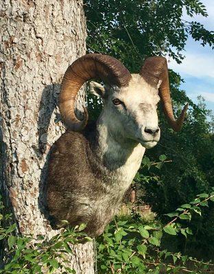 stone-sheep-sp-head-mount-ray-wiens