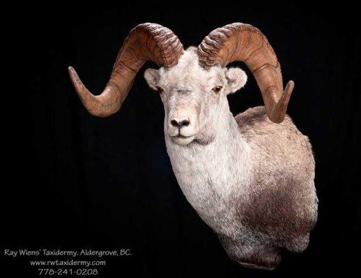stone-sheep-sp-head-mount-taxidermy-ray-wiens