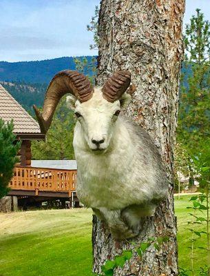 stone-sheep-species-taxidermy-mount-ray-wiens