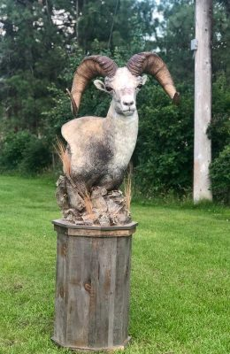 stone-sheep-standing-mount-ray-wiens-taxidermy