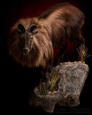 tahr-life-size-wall-taxidermy-mount-ray-wiens