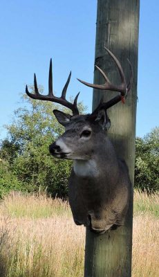 whitetail-deer-head-mount-wall-ray-wiens-taxidermy