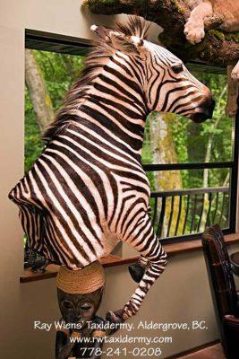 zebra-taxidermy-mount-ray-wiens