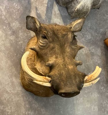 africa-and-exotic-animal-taxidermy-ray-wiens