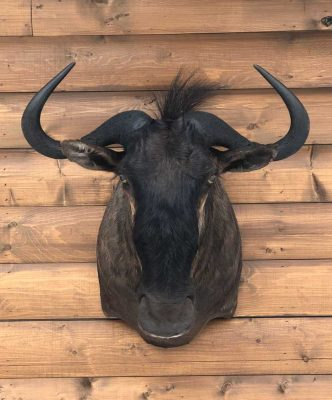 blue-wildebeast-african-exotic-taxidermy-ray-wiens