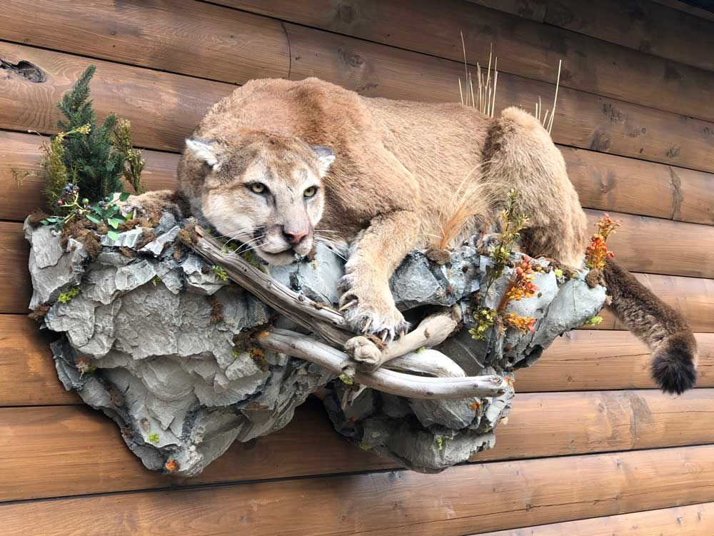 crouching-cougar-taxidermy-mount-ray-wiens