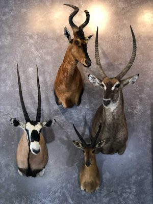 exotic-africa-taxidermy-ray-wiens-british-columbia