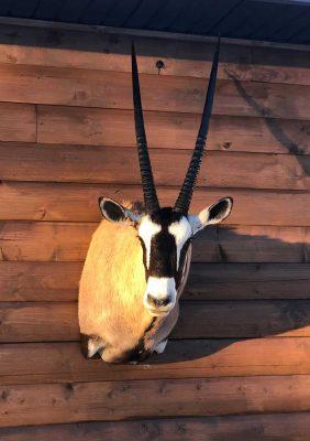 gemsbuck-head-mount-ray-wiens-taxidermy