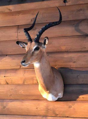 impala-head-mount-taxidermy-ray-wiens