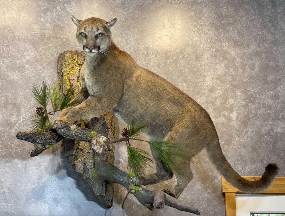 life-size-puma-mount-ray-wiens-taxidermy