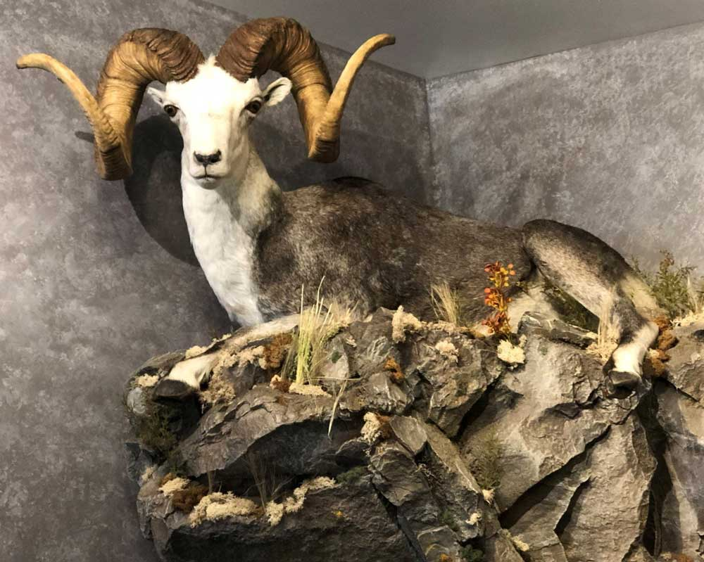 stone-sheep-corner-mount-ray-wiens-taxidermy