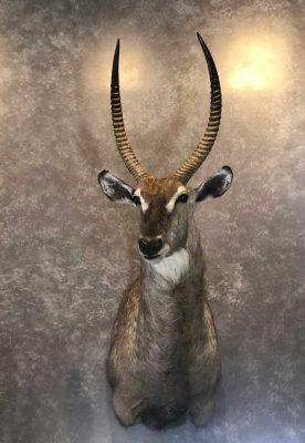 waterbuck-head-mount-ray-wiens-taxidermy