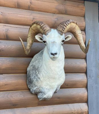 wild-sheep-head-mount-ray-wiens-taxidermy