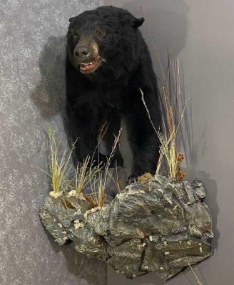 bear-shoulder-corner-wall-mount-ray-wiens-taxidermy-british-columbia