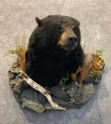 bear-shoulder-wall-mount-ray-wiens-taxidermist-bc2